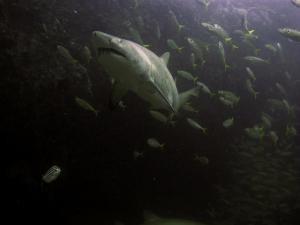 shark-7